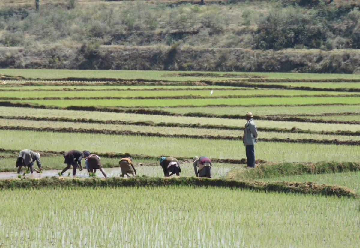 خمیده اند و برنج می کارند، خسته نمی شوند که اینجا خستگی بی مفهوم است، یکی هم ایستاده و شاید فرمان می دهد.