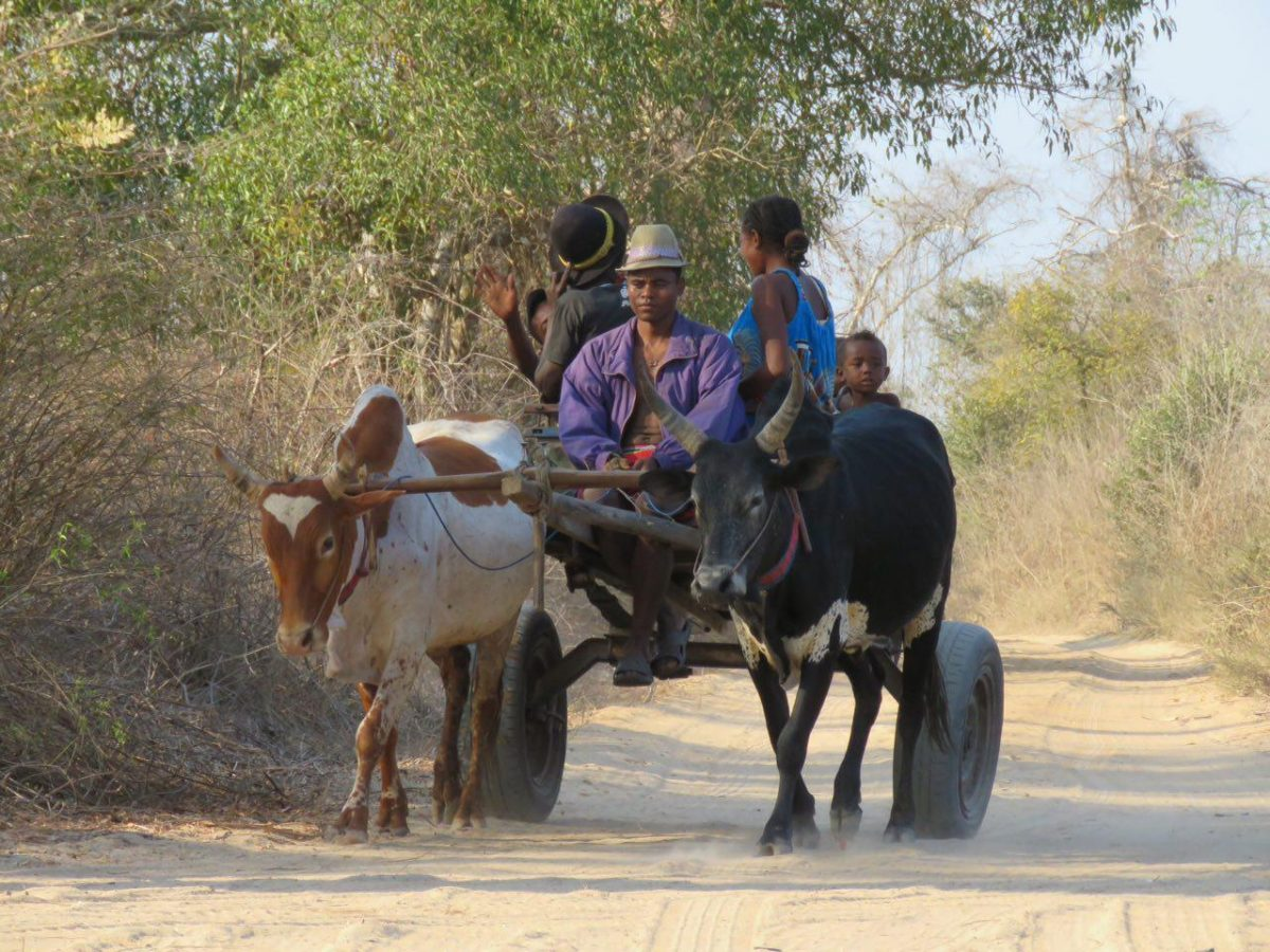 اینها هم مسافر جاده بائوباب ها هستند، نه مثل ما مسافر یکباره که اینجا مأوا و گذرگاه همیشگی شان است، آنهم با گاری و زبوهای سربه زیری که مطیع ترینند!