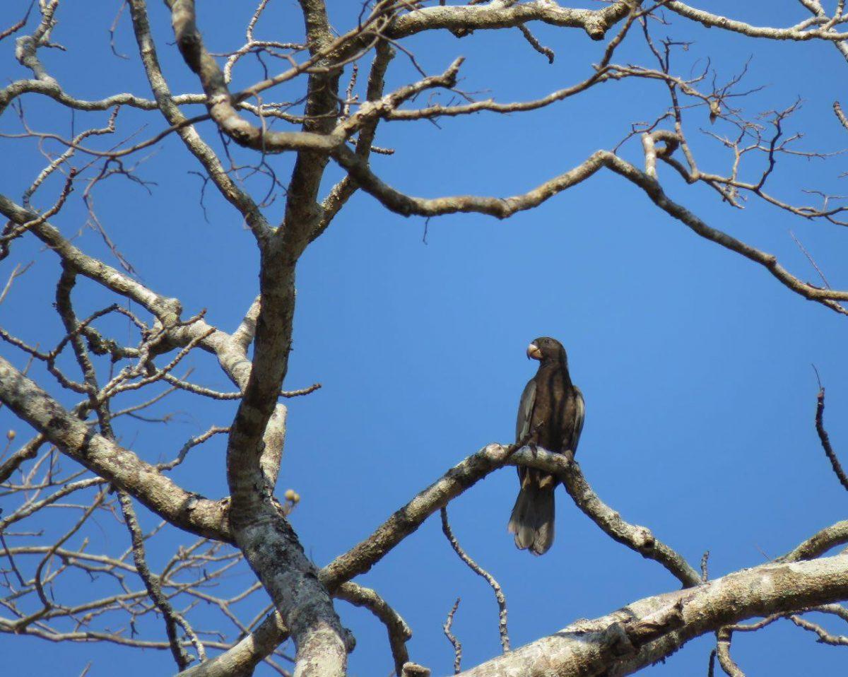 این هم طوطی سیاه مالاگاسی ست، اندمیک و خاص سرزمین ماداگاسکار که در بیشتر نقاط این کشور پراکندگی دارد و گاه با جیغ های بلندش، زمین و زمان را روی سرش می گذارد!