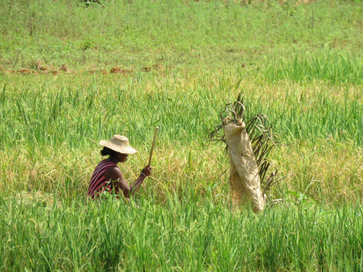 برنج می کارند و از شالی ها مراقبت می کنند، هرجایی که آبی بیابند و زمینی، چرا که غذای اصلی مردمان این سرزمین است، قوت سه وعده شان، برنج های ریز و بدون عطر و طعم مالاگاسی.