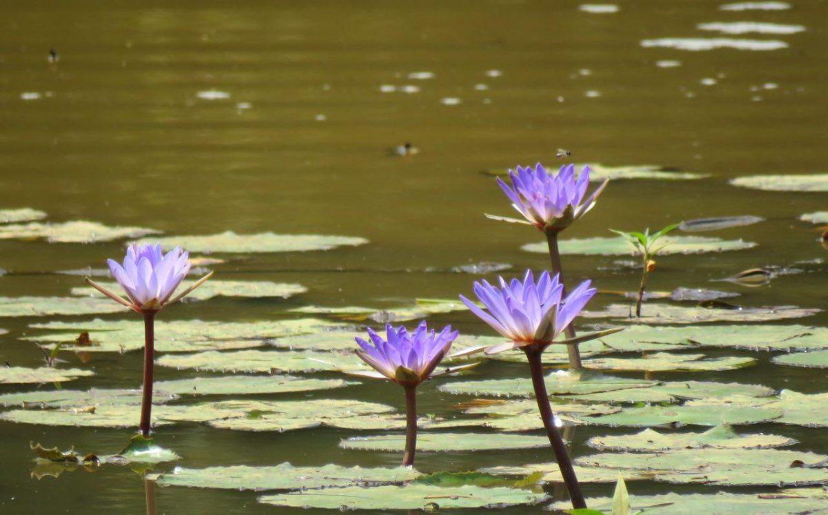 آبگیری درست شده است در کنار مسیر، نیلوفرهای آبی سربرآورده اند، تقدس دارند در بسیاری از فرهنگ ها، زیرا که این زیباترین در صف گلها، ریشه در راکدترین و گاه فاسدترین آبها دارند اما زیبا و پاک رشد می کنند!