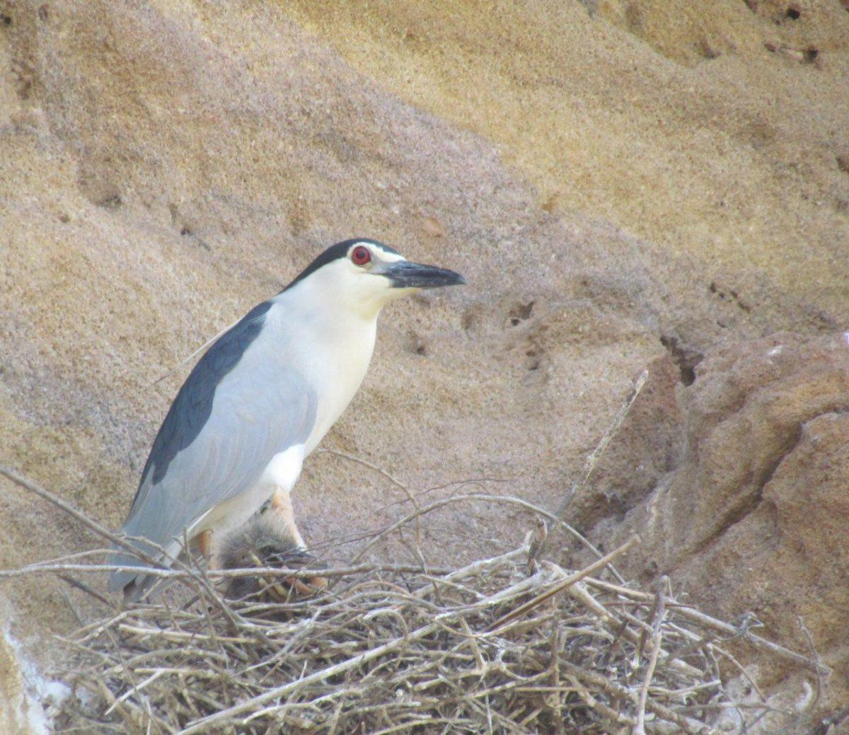 این یکی هم در گوشه ای دیگر از صخره ها بر روی شاخه ساری مشغول جوجه داری یست، او هم انگار خوشحال نیست از دیدار و عبورمان!