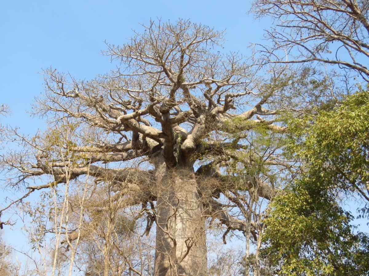 سربرآورده است و شاخه ها پراکنده بر اطراف و حاضر و ناظر حاجات است و می پاید سرزمینش را.