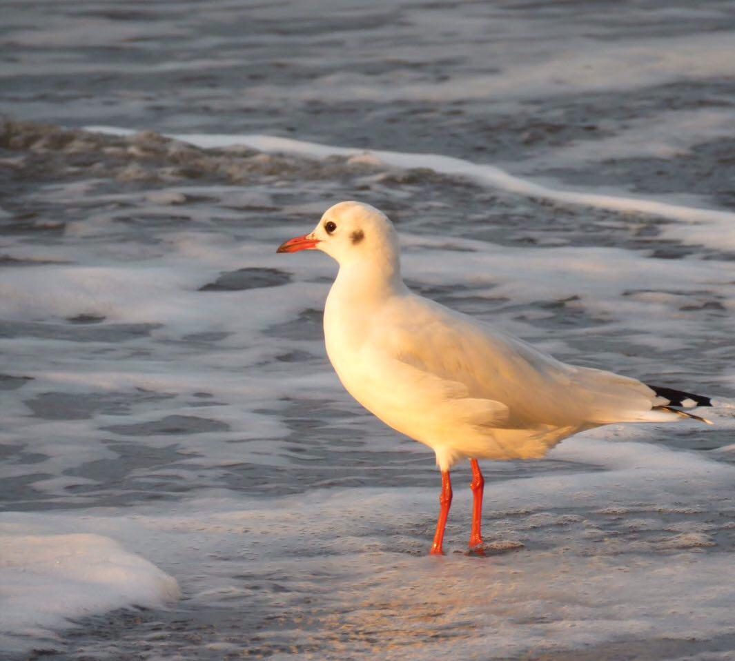 رو به ساحل ایستاده است و غروب را تماشا می کند، زردی پرهایش گواهی است از بی جان شدن آخرین اشعه های آفتاب که بخشنده تا گاه آخر می تابد بر ساحل و دریا.