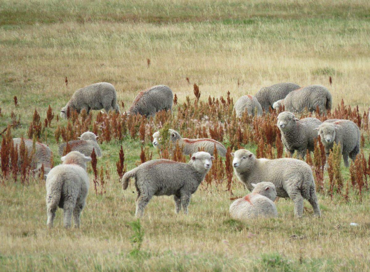 مثل احمق های دوست داشتنی نگاه می کنند، بیشتر از اینکه گوسفند باشند عروسکند.