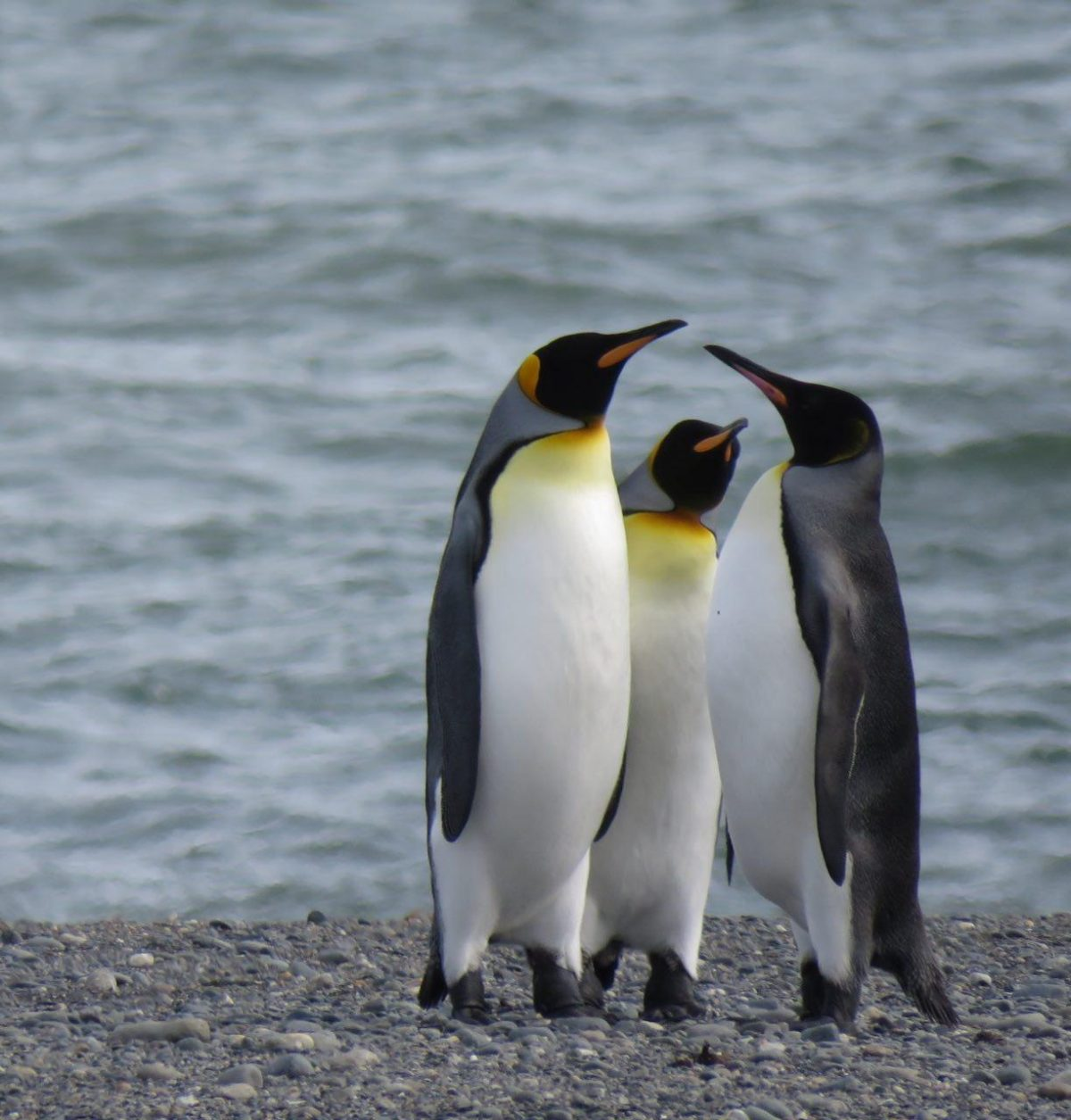 سه پنگوئن شیلی