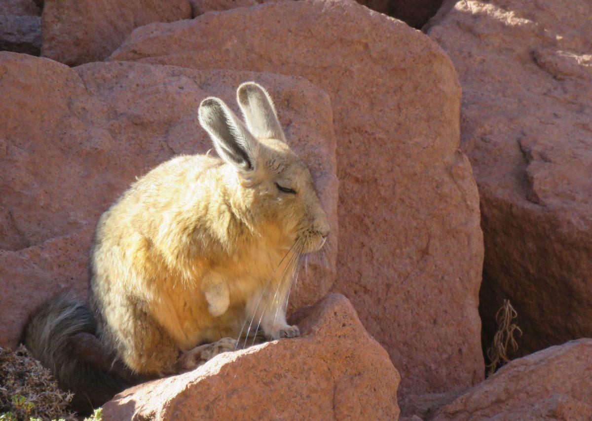 """کوهستان های آند و مخصوصا مناطق سنگلاخی آن پر است از گونه ای خرگوش دم دراز سبیل بلند، نامش """"ویسکاچا""""ست، اگر هم خرگوش دوست نباشید حتما عاشق سبیل های به زمین رسیده اش می شوید."""