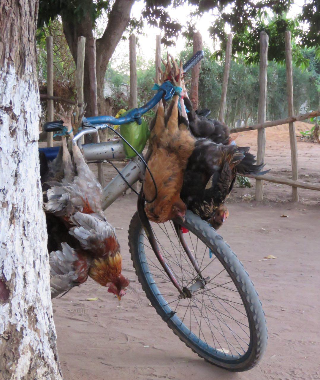 مرغ و خروس هایی که صبح خود را اینگونه اغاز کرده اند، باشد که تبدیل به پولی ناچیز گردند برای گذران روزی دیگر از زندگی خانواده ای!
