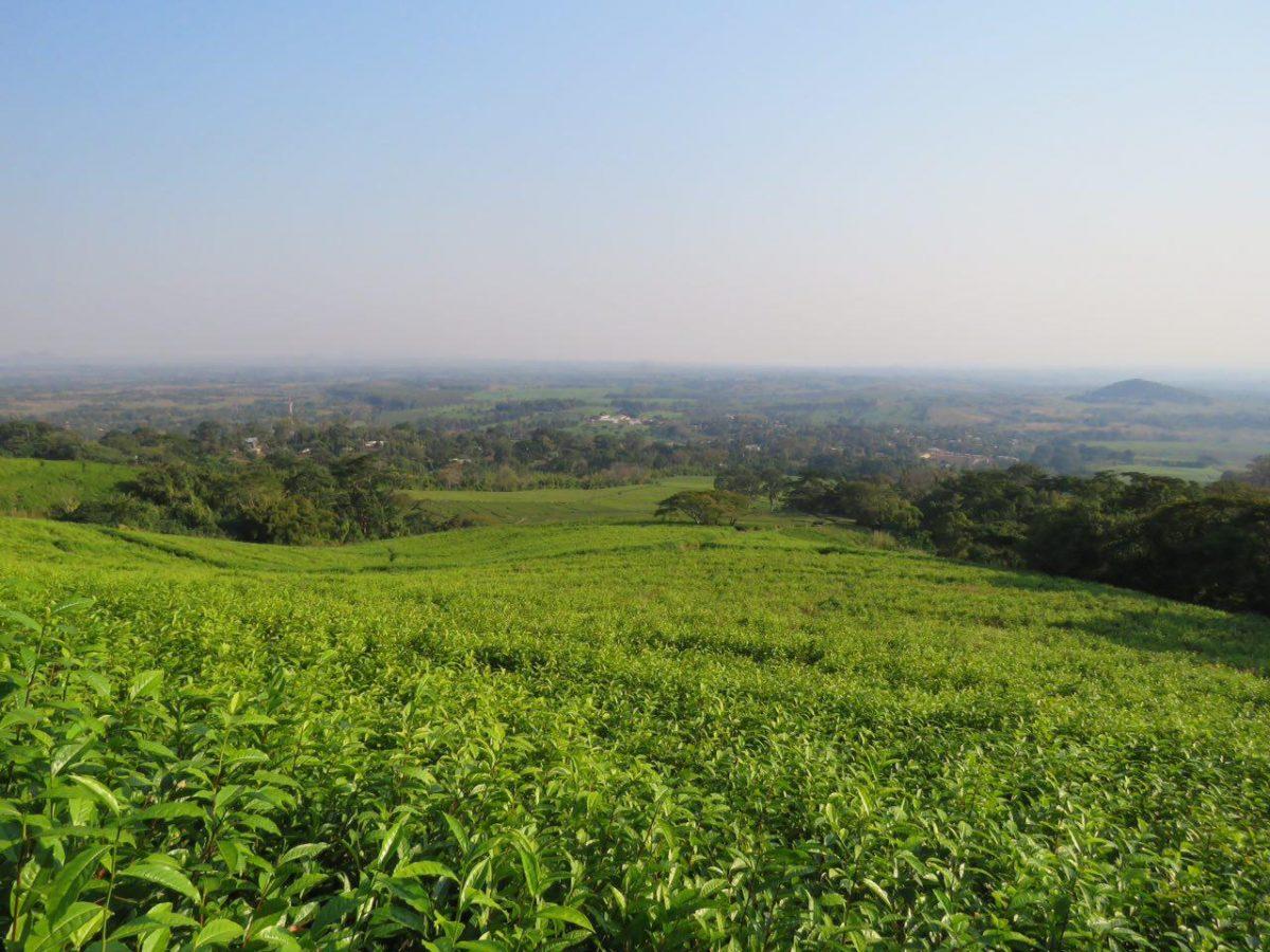 مزارع چای مولانجه که گسترده اند بر سر تپه ها و دامنه های کوهستان