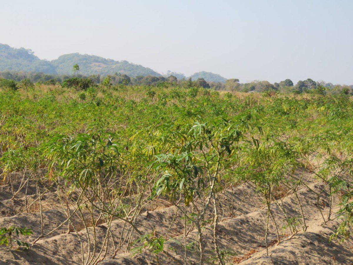 """گیاه با اهمیتی وجود دارد به اسم """"کاساوا""""، مزارعش را زیاد می بینم، ریشه های ضخیم و عمیقی دارند با پوستی قهوه ای متمایل به زرد و هسته سفید رنگ، این ریشه ها یکی از منابع غذایی محبوب مردم مالاوی ست!"""