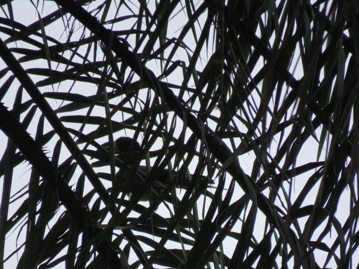 """این یکی """"نوک شاخی""""ست، نشسته است روی سر برگ های بلند پالم و آسمان غم گرفته ابری بالاسرش را می نگرد..."""